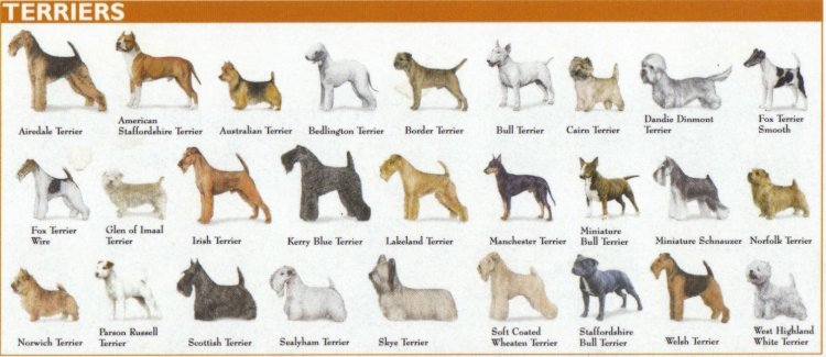 Categories of Dogs - Terrier Dogs