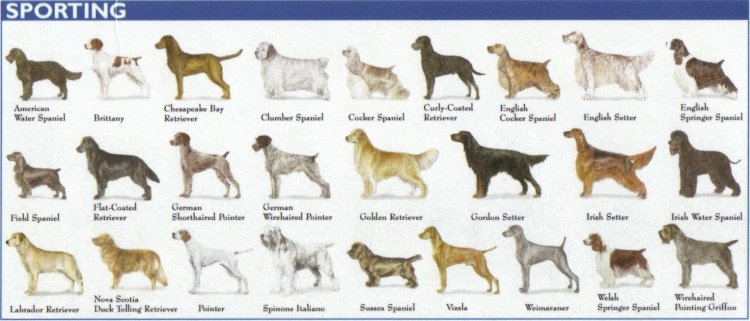 Categories of Dogs - Sporting Dogs