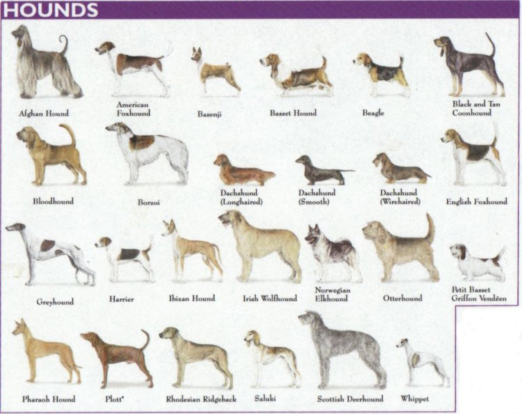 Categories of Dogs - Hound Dogs