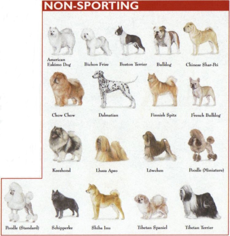 Categories of Dogs - Non Sporting Dogs