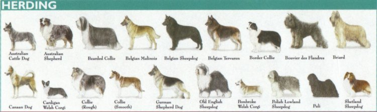 Categories of Dogs - Herding Dogs